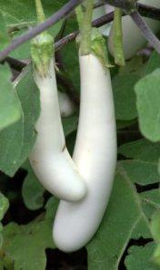 solanum-melongena-gretel_eggplant_dbg_lah_7069