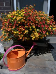 calibrachoa-in-container_colospgs-co_lah_5042