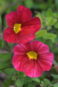 calibrachoa-million-bells_dbg_20090915_lah_0335nef