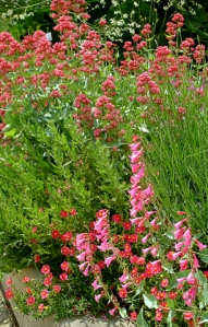 centranthus-helianthemum-penstemon-trio-003