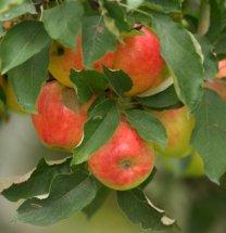 apples_browns-tacoma_20091016_lah_4005