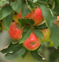 apples_browns-tacoma_20091016_lah_4005