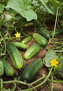 cucumber-cool-breeze-cwikipedia