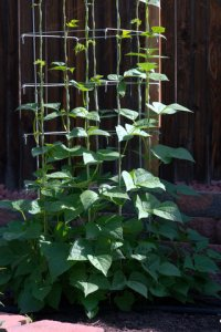 pole-beans_colospgs-co_lah_4953