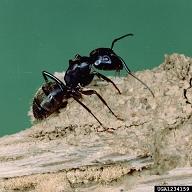 carpenter-ant-cclemson-u-usda-coop