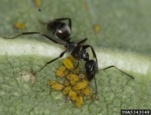 formica-ant-cdavid-cappaert