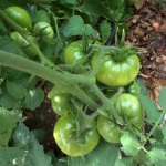 green-tomatoes_tyndale-garden-colospgs-co_lah_2878