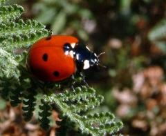 ladybug-on-fernleaf-dbg-19sept05-lah-193