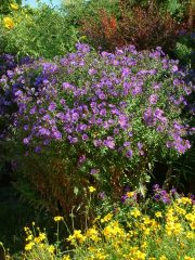 aster-novae-angliae-hella-lacy-new-england-aster-dbg-19sept05-lah-024