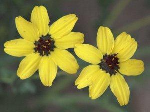 berlandiera-lyrata_chocolate-flower_xg_colospgs-co_lah_6017