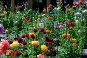 dahlia-garden_hudsongardens-littletonco_lah_9402