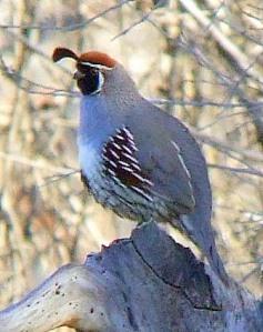 gambels-quail-cornvilleaz-2009-03-020