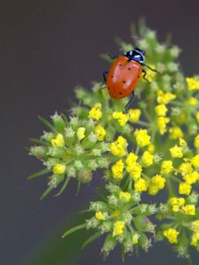 ladybug_emeraldvalleyco_20090630_lah_5527