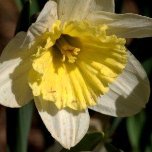 narcissus-hyb-daffodils_hudsongardens-littletonco_20100406_lah_1545