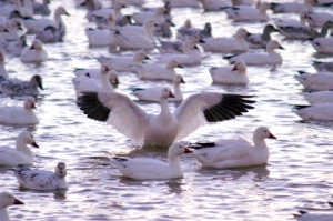 snow-geese-bosquedelapache-2005-11-19-397