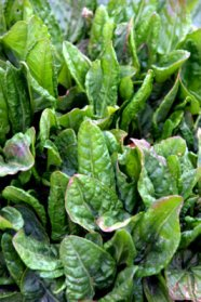 spinach_dbg_20100417_lah_2909