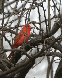 summer-tanager_deadhorsesp-cottonwood-az_lah_5640