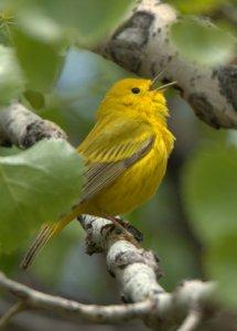 yellow-warbler_hudsongardens-denver-co_lah_2585