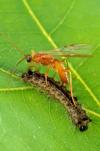 aleiodes-indiscretus-wasp-parasitizing-a-gypsy-moth-caterpillar-c-scott-bauer-usda-agricultural-research-service-bugwood-org