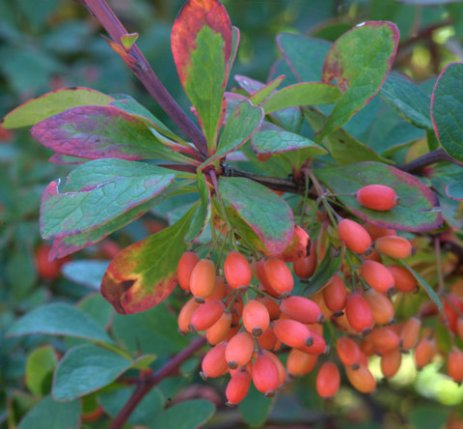 Japanese Barberry, Berberis thunbergii