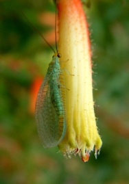 lacewing-on-cuphea-micropetala-cigar-plant-sanantoniobg-2003nov30-lah-001