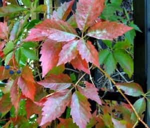 parthenocissus-quinquefolia-virginia-creeper-idahofalls-2007sept19-lah-101