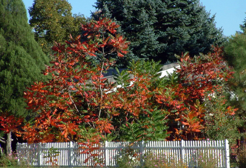 sumac-fall-color-colospgs-6oct2005-lah-004s