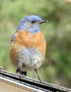 western-bluebird-home-2008jun05-lah-010