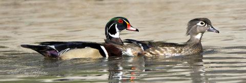 wood-ducks_20100426_pueblo_lah_3853