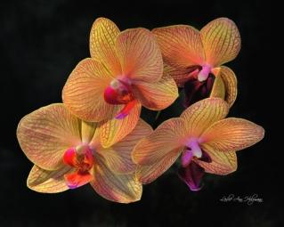 Phalanopsis Orchid-Holzmann