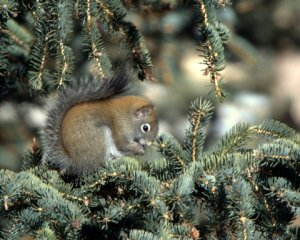 American Red Squirrel_Chickaree_ElevenMileCyn-CO_LAH_8751
