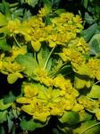 Euphorbia polychroma - Cushion Spurge