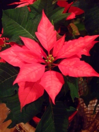 Poinsettias_20091218_PLH_5602