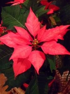 Poinsettias_20091218_PLH_5602