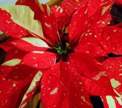 Poinsettias_20091218_PLH_5611