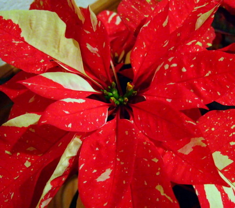 Poinsettias_20091218_PLH_5611