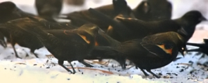 Red-winged Blackbirds_LAH_8260_filtered