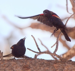Red-winged Blackbirds_LAH_8265_filtered