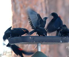 Red-winged Blackbirds_LAH_8291_filtered