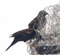 Red-winged Blackbirds_LAH_8456