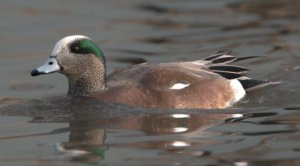 American Wigeon_CanonCity-CO_LAH_9906