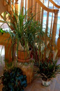 Ponytail Palm_LAH_9913