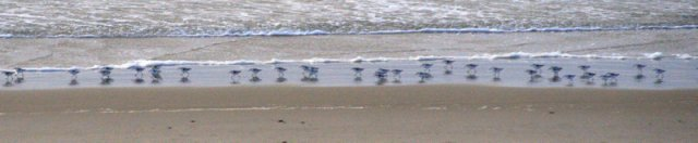 Sanderlings_Nehalem Bay_OR_20100203_LAH_8062-1