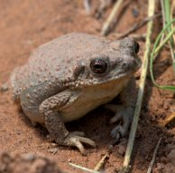 Toad_ColoNat'lMon-CO_LAH_3622