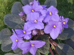 African Violet - wikipedia