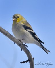 American Goldfinch, molting into breeding plumage