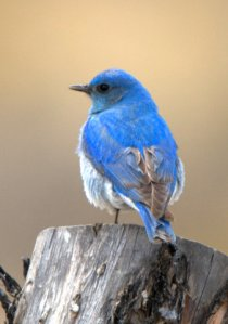 Mountain Bluebird_Johnson'sCorner-CO_LAH_2843