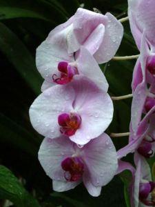 Orchid @DC LAH 206-001