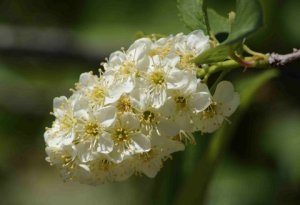 Prunus - Chokecherry @PaintMines-CalhanCO 20090530 LAH 460