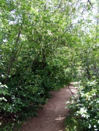 Prunus virginiana - Chokecherry@BoulderCO 2006may12 LAH 003